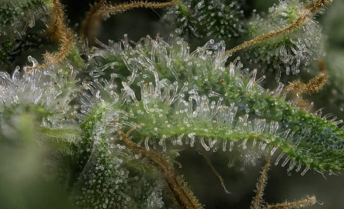 CBD-Trichome-Blüten