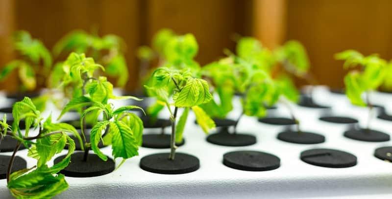 Hanfpflanze kaufen