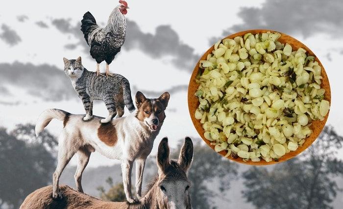 Hanfsamen für Tiere