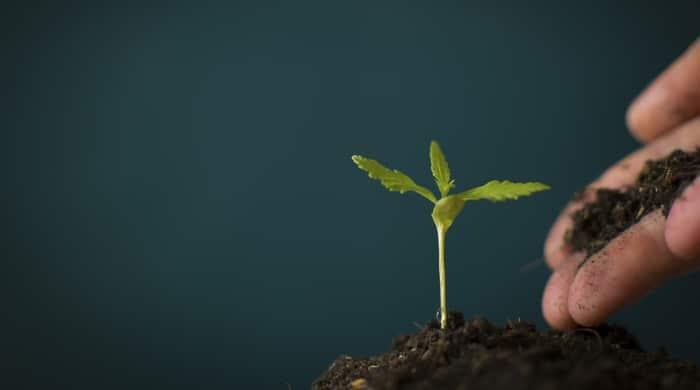 Kleine CBD Pflanze mit Erde zum Anbau.