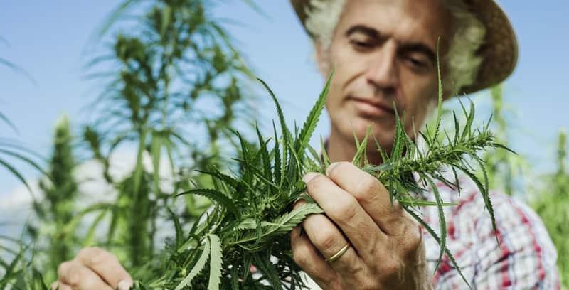 Hanfbauer bei der Qualitätskontrolle seiner Hanfpflanzen.