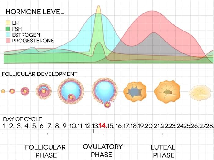 Der Menstruationszyklus grafisch erklärt.