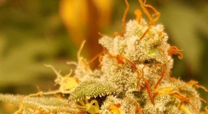 Rote Fäden auf reifer Cannabisblüte bei der Ernte.
